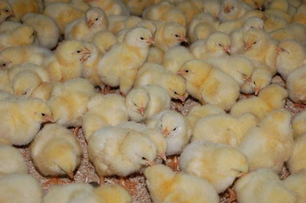 Как вывести цыплят в инкубаторе в домашних условиях 87